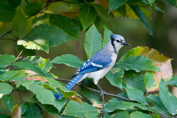 Blue Jay Perching