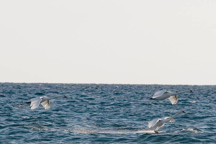 Swan Splashdown
