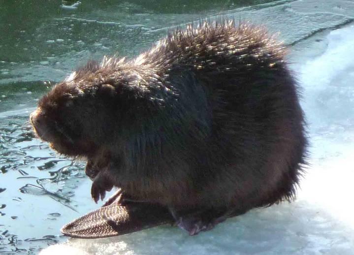 beaver_2