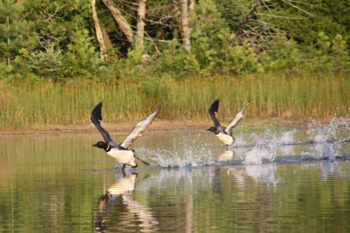 Loons taking off on Barney's Lake