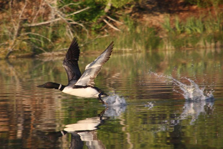 Loon taking off on Barney's Lake
